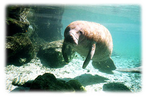 Swim with the Florida Manatee